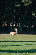 Bull elk in the distance standing in a field with the forest behind him.