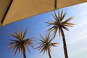 Yucca aloifolia, Spanish bayonet, garden plant against blue sky Cabo de Gata  natural park, Almeria, Spain