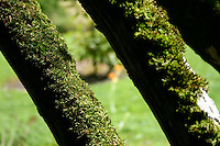 Moss growing along tree bark in Irish garden