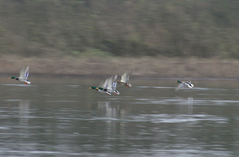 Stockenten starten aus dem Wasser der winterlichen Elbe in die Lüfte...Mallard ducks take off the Elbe river in Winter.