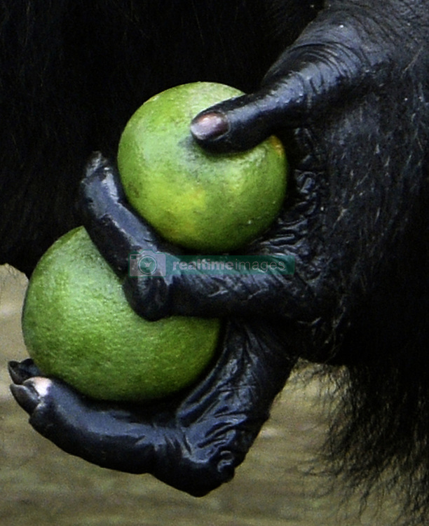 March 5, 2016 - Charlesville, Liberia - Former research chimps are fed by members of Liberian Chimpanzee Rescue on March 5, 2016 after decades of biomedical experimentation in Liberia, West Africa. .LCR is a program of Humane Society of the United States.  HSUS and New York Blood Center came to an agreement recently in May 2017 after years of discussion about the care of research chimps NYBC had abandoned in Liberia, West Africa when they withdrew all funding for food and water.  In March 2016, a team from HSUS visits to view the situation.  NYBC also refused to pay for their caregivers who used their own meager finances to continue feeding them. They now live on six islands serving as a sanctuary.  The HSUS stepped in to assist and improve the dire situation in which the chimpanzees were literally left to die if not for the heroic efforts of their original caregivers who had worked for NYBC and were abandoned as well. (Credit Image: © Carol Guzy via ZUMA Wire)