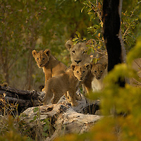 Lion cubsLeo Panthera. Spice girl cubs Spice girl 95 in back Hwange national park Zimbabwe