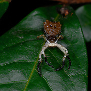 The bird dropping mimic Ceylon crab spider, Phrynarachne ceylonica,.