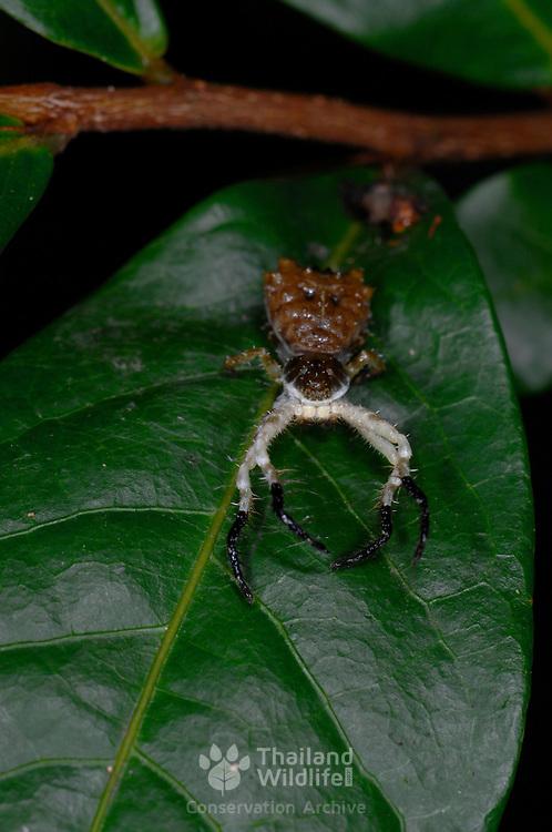 The bird dropping mimic Ceylon crab spider, Phrynarachne ceylonica,.