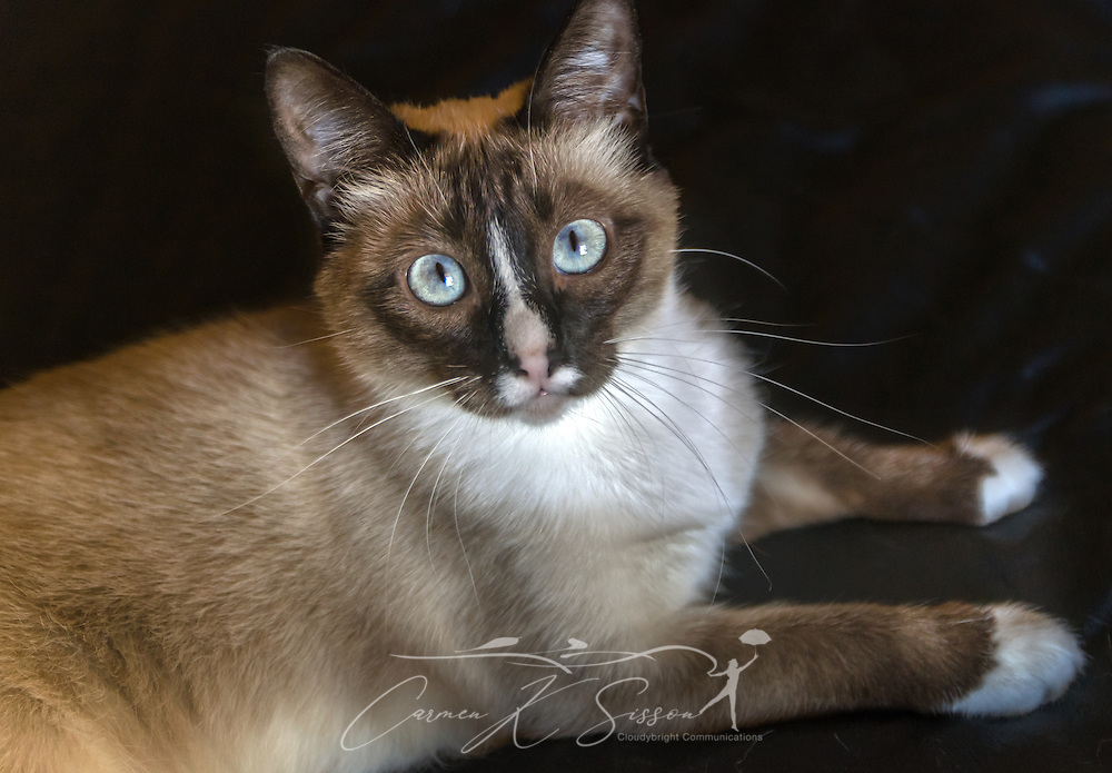 Twinkie, a one-year-old Siamese kitten, poses for a picture, March 7, 2015, in Coden, Alabama. (Photo by Carmen K. Sisson/Cloudybright)