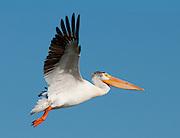 White Pelican in flight, Tewaukon National Wildlife Refuge,North Dakota