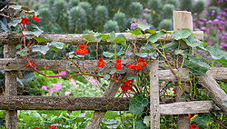 Tropaeolum majus 'Empress of India' growing on a wooden fence. Nasturtium