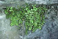 Maidenhair Fern - Adiantum capillus-veneris