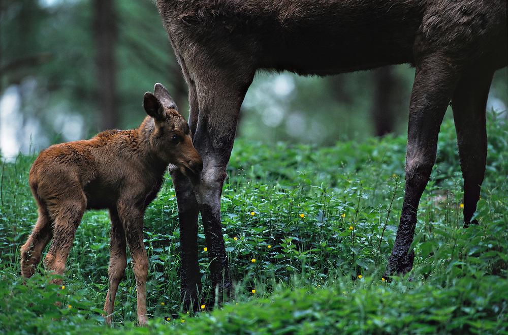 European Elk / Moose, Alces alces, calf, Borås zoo, Sweden