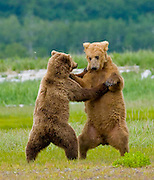 Brown Bear in Katmai National Park
