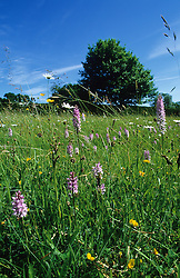 Meadow at Great Dixter with blue sky. Dactylorhiza fuchsii (Common spotted orchid), Leucanthemum vulgare (ox-eye daisies) and Lotus corniculatus (Bird's foot trefoil)