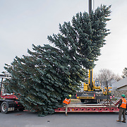 SOUTH PORTLAND, Maine -- 11/15/18 --   Crews from the Forestry Section of Portland's Parks, Recreation & Facilities Department set down a 40-foot blue spruce donated by the South Portland Fire Department on a flatbed truck before delivering it to Monument Square in Portland -- where it will be installed as this year's Christmas tree. <br /> Later this week, thetreewill be lit with over 5,000 LED lights during the Monument Square Tree Lighting onFriday, November 23 at 5:00 p.m.<br /> Santa Claus has suggested he might make an appearance and local musicians will be performing.<br /> Photo by Roger S. Duncan for the Forecaster