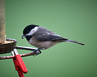 Black-capped Chickadee. Image taken with a Nikon D5 camera and 600 mm f/4 VR lens (ISO 1600, 600 mm, f/5.6, 1/25 sec)