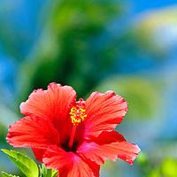 Caribbean, Bahamas, Castaway Cay. Hibiscus Flower at Castaway Cay.