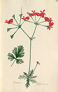 Scarlet stork's bill flower Pelargonium fulgidum [here as Geranium fulgidum] by Wendland, Johann Christoph, 1798