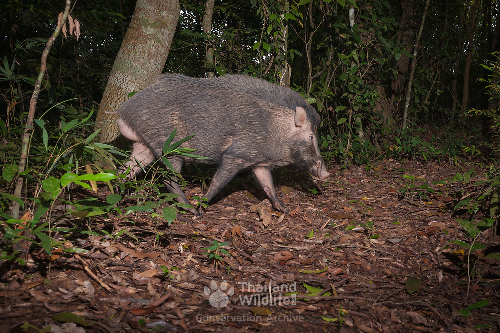 The wild boar (Sus scrofa), also known as the wild swine or Eurasian wild pig, is a suid native to much of Eurasia.