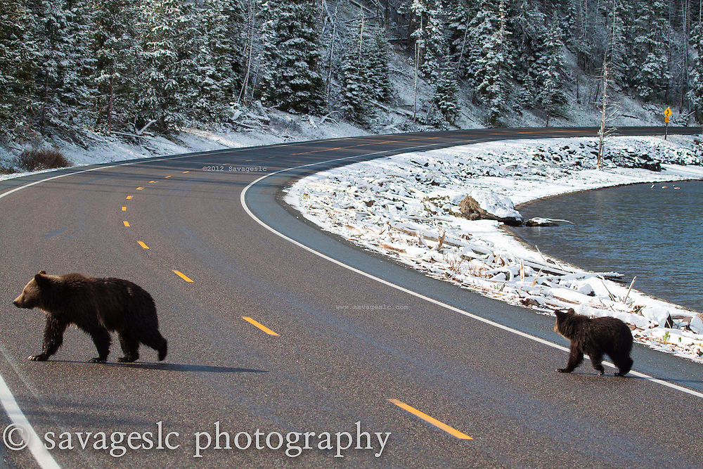 Grizzly sow and cub crossing the highway near Mary's Bay.