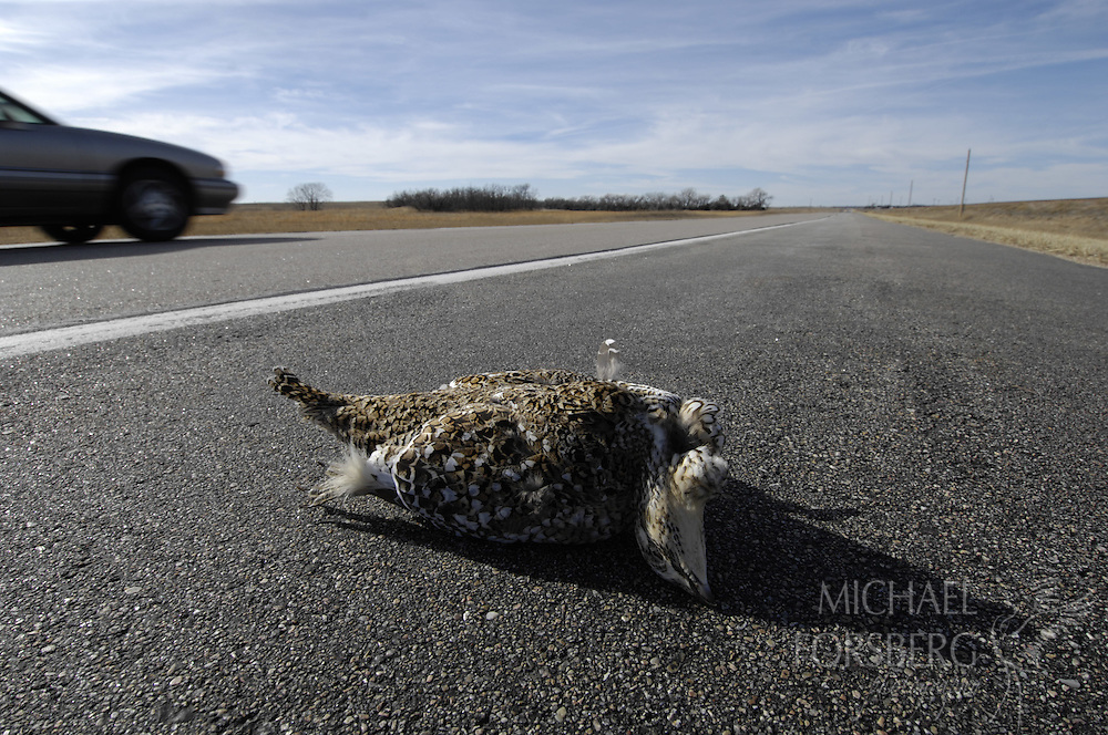Sharp-tailed grouse killed on highway.