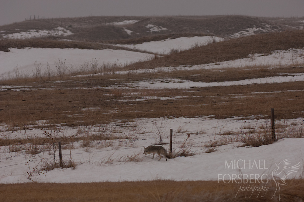 Nebraska Sandhills. Peterson Ranch.<br /> <br /> Coyote crosses a pasture fence along the grassy bank above Blue Creek to hunt for waterfowl.<br /> <br /> Blue Creek stays open even in the deepest cold of winter, fed by powerful underground springs from the Ogallala aquifer below.