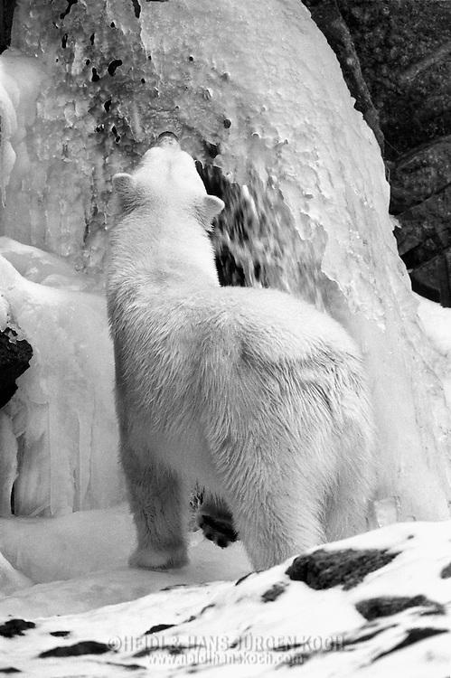 Schweden, SWE, Kolmarden, 2000: Ein Eisbaer (Ursus maritimus) betrachtet einen gefrorenen Wasserfall, Kolmardens Djurpark. | Sweden, SWE, Kolmarden, 2000: Polar bear, Ursus maritimus, looking at a frozen waterfall, Kolmardens Djurpark. |