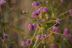 Gomphrena, or Bachelor's Buttons, growing beside the main Broome to Derby highway.