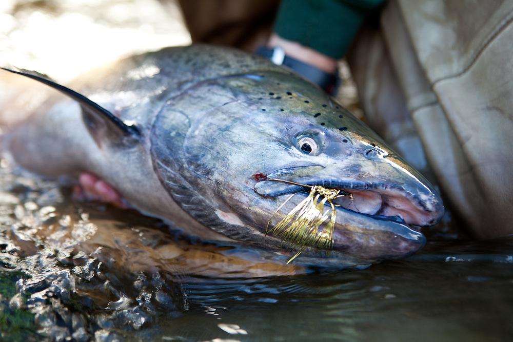 fly caught alaskan king salmon, east fork chulitna river, interior Alaska