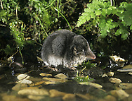 Water Shrew Neomys fodiens Length 12-17cm Distinctive bi-coloured shrew, usually seen near freshwater. Swims well. Adult has dense fur: blackish upperparts and flanks contrast with whitish underparts. In water, fur traps a layer of air that makes submerged animal look silvery. Fringes of hairs on tail, and on relatively large hind feet, assist swimming. Utters high-pitched squeaks. Widespread except in N Scotland and on islands. Favours slow-flowing and well-vegetated streams and watercress beds. Pollution and disturbance are agents of its decline.