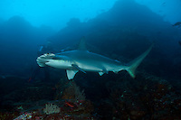 Scalloped hammerhead shark and diver