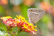 Lampides boeticus - Pea Blue