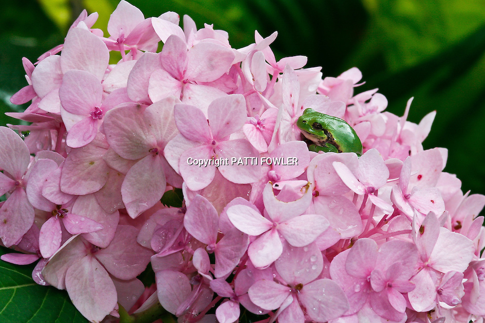 tree frog on pink hydrangea