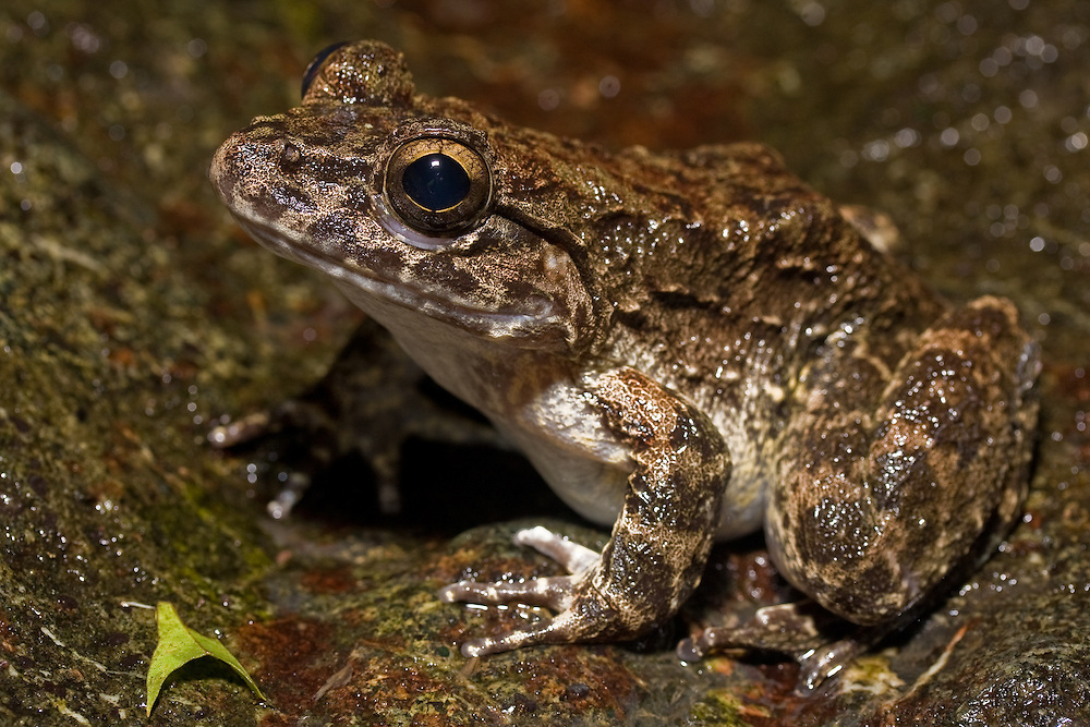 Undescribed frog from the genus Limnonectes on Mt Tompotika, Central Sulawesi