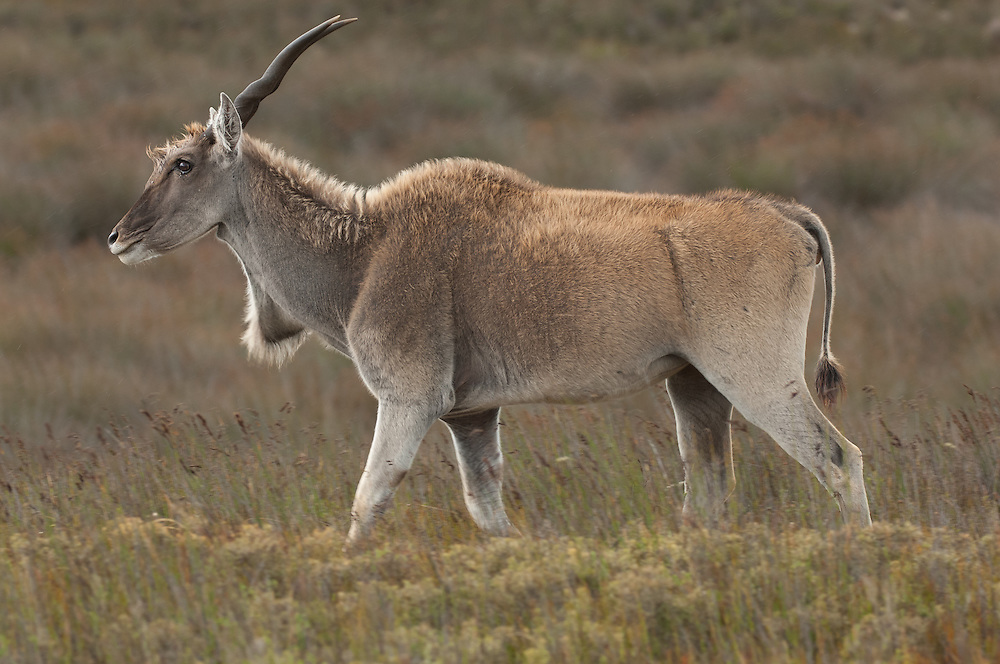 Common Eland (Taurotragus oryx) at De Hoop Nature Reserve. Eastern Cape. South Africa