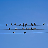 Pigeons sitting on 3 parallel wires against a clear blue sky.