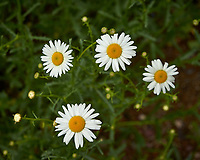 Four Daisy wildflowers. Backyard spring nature in New Jersey. Image taken with a Leica T camera and 18-56 mm lens (ISO 100, 56 mm, f/5.6, 1/320 sec).