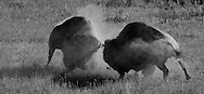During the breeding season, one ton bull bison brutally smash heads to determine their rank within the herd. Each bull struggles to keep his head between his opponent's horns because any slipping from this position could lead to horning of the neck and sure defeat, if not death for the losing bull.