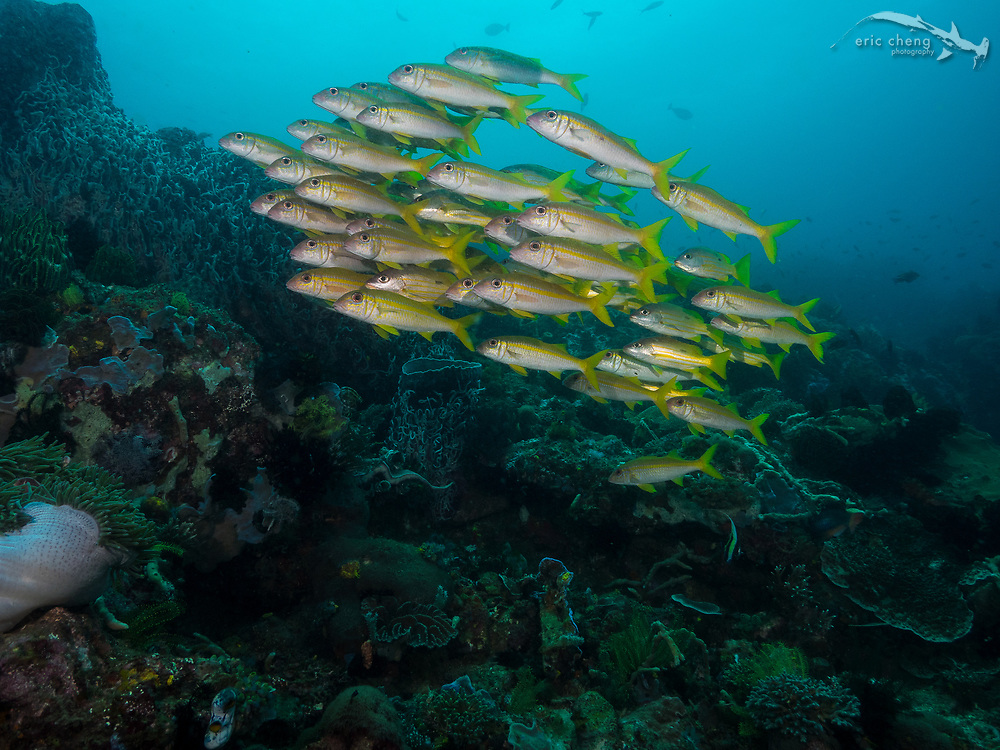 A school of yellowstripe goatfish (Mulloidichthys flavolineatus), with some snappers mixed in. Cannibal Rock, Horseshoe Bay, Komodo National Park, Indonesia.