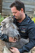 Common Wombat <br /> Vombatus ursinus<br /> Orphaned wombat named Tina (mother was hit by car) held by Greg Irons, Sanctuary Director. Tina will be released to the wild. <br /> Bonorong Wildlife Sanctuary, Tasmania, Australia<br /> *Captive- rescued and in rehabilitation program