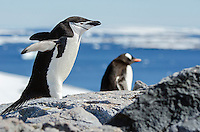 Chinstrap penguin, Pygoscelis antarcticus and Gentoo penguin at Booth Island at Port Charcot in Antarctica.