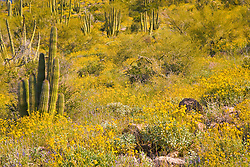 Organ Pipe Cactus (Stenocereus thurberi) and brittlebush (Encelia farinosa) in springtime, Organ Pipe Cactus National Monument, Arizona, USA, Organ Pipe Cactus National Monument, Arizona, USA