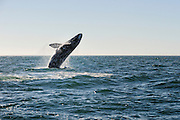 Large gray whale spy-hopping
