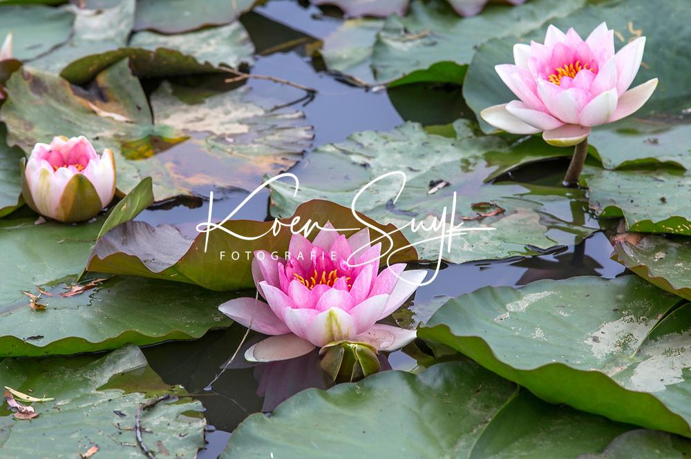 ENSCHEDE - Waterlelies, Golfbaan Rijk van Sybrook - COPYRIGHT KOEN SUYK