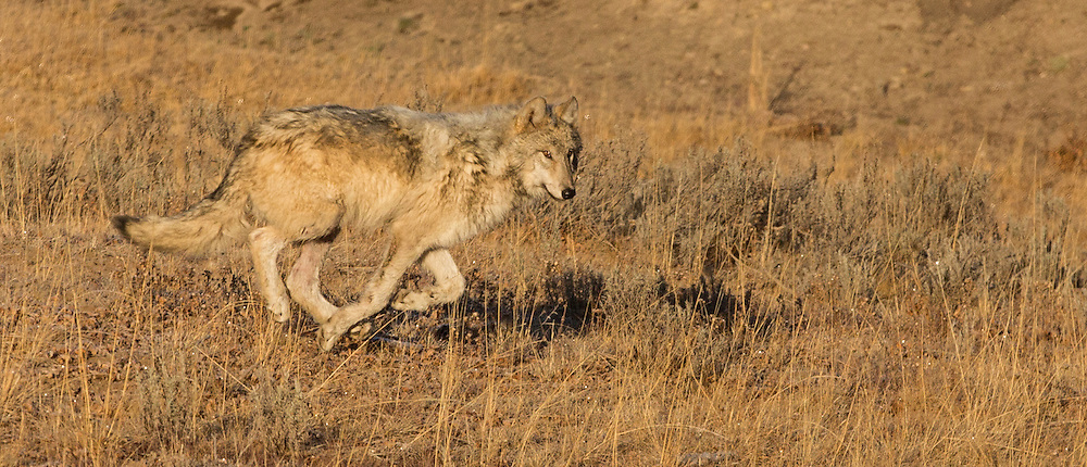 A yearling from Yellowstone's Canyon Pack runs through Hayden Valley to rendezvous with the Pack's alpha female on the other side of the valley.