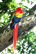 Colourful scarlet macaw (Ara macao) Parrot. Photographed in the Rain forest of Costa Rica