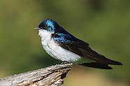 Tree Swallows in Springtime