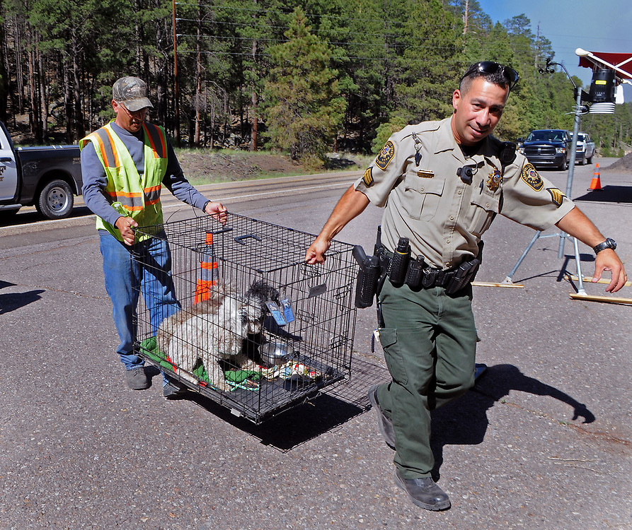 jt061517f/ a sec/jim thompson/ left to right Sandoval County worker Lawrence Taraddei and Sandoval Co. Sheriff's Sargent A. Nieves move a cage of poodles that were removed from a home in the area.   Thursday June. 15, 2017. (Jim Thompson/Albuquerque Journal)