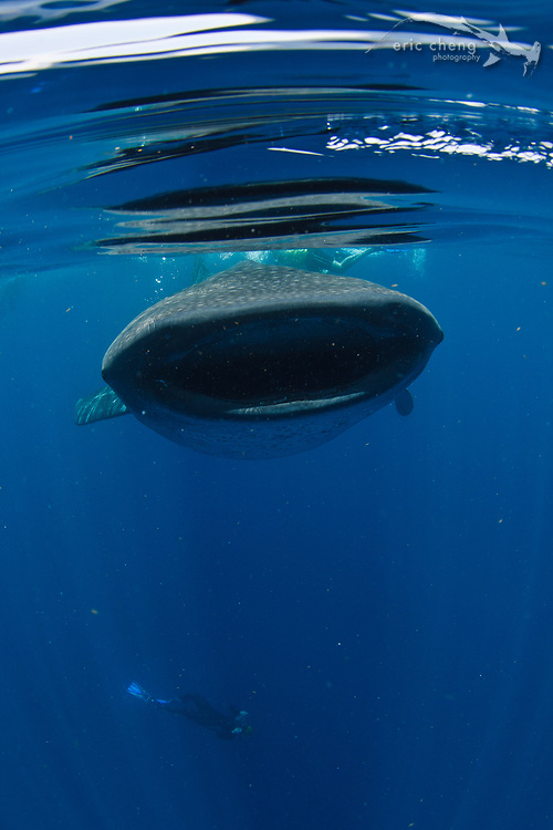 Dan Kitchens goes for a sunball silhouette shot of a whale shark (Rhincodon typus) at a feeding aggregation off of Isla Mujeres, Mexico