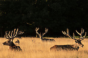 UNITED KINGDOM, London: 04 August 2015 Fallow deer stand in the early morning sun in Richmond Park this morning. After a day of sunshine today, it is set to rain tomorrow. Rick Findler / Story Picture Agency