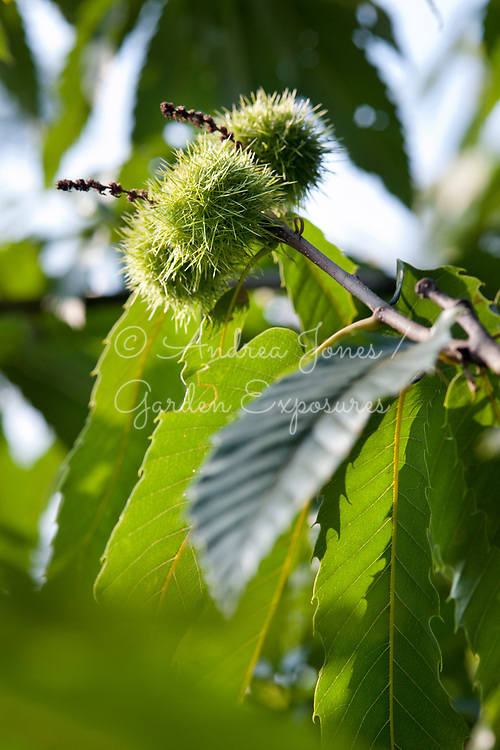 Castanea sativa (sweet chestnut, Spanish chestnut, common chestnut) fruit and foliage