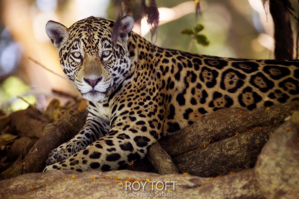 Portrait of a wild jaguar (Pantera onca), Pantanal, Brazil