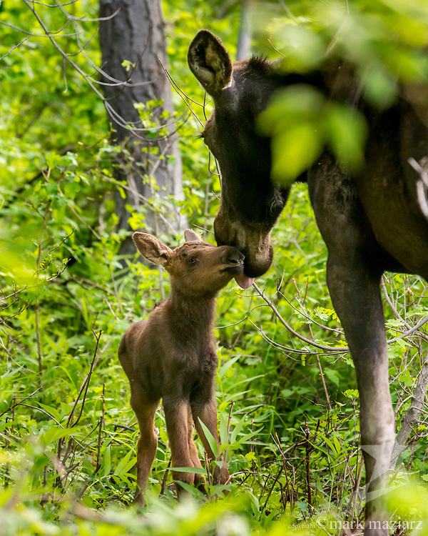 Moose and calf in Pinebrook neighborhood of Park City, Utah.
